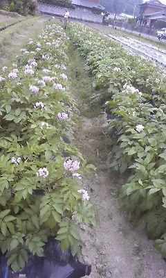 馬鈴薯の花2008年5月22日