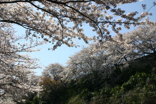 IMG_3636sakura3003.jpg