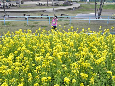菜の花01