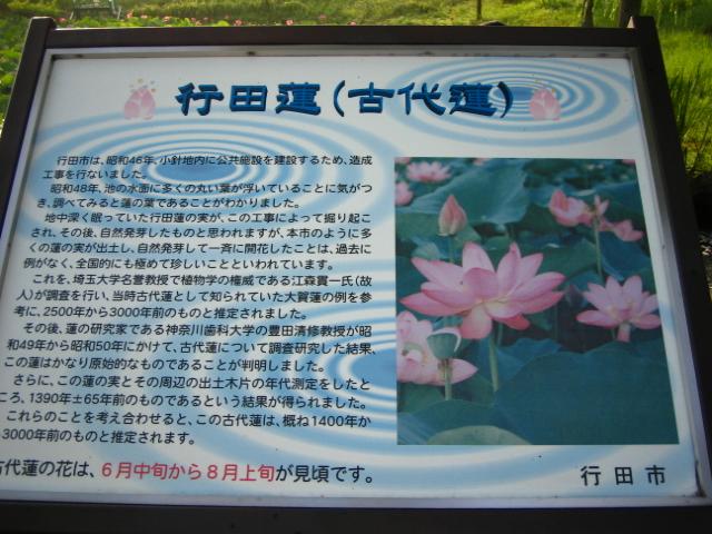 hasu-gyouda111