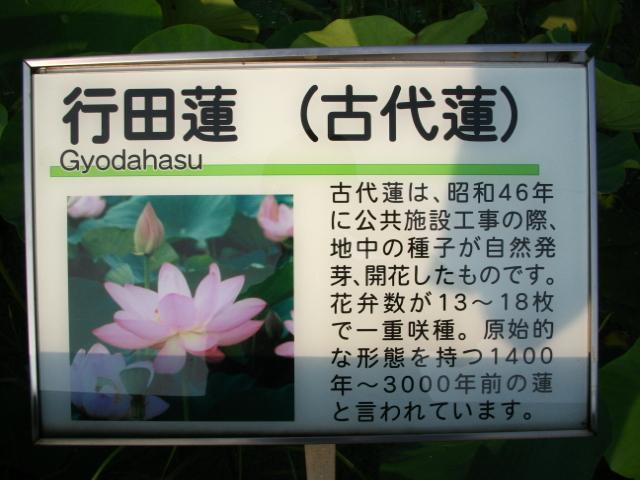 hasu-gyouda112
