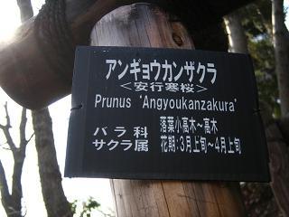 angyoukannzakura205