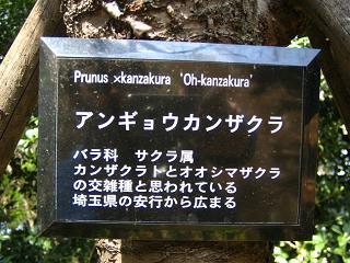 angyoukannzakura207