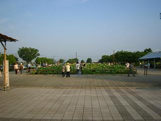 hasu-gyouda211