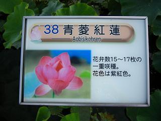 hasu-gyouda213