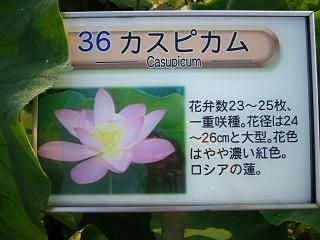 hasu-gyouda215