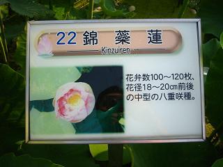 hasu-gyouda221