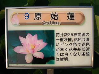 hasu-gyouda226