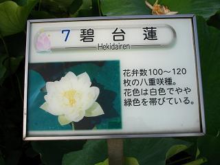 hasu-gyouda228