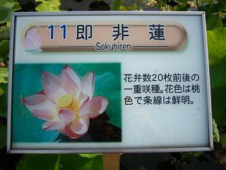 hasu-gyouda232