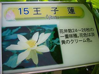 hasu-gyouda234