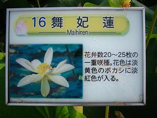 hasu-gyouda236