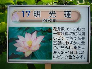 hasu-gyouda238