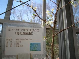 midorikinkimamezakura202