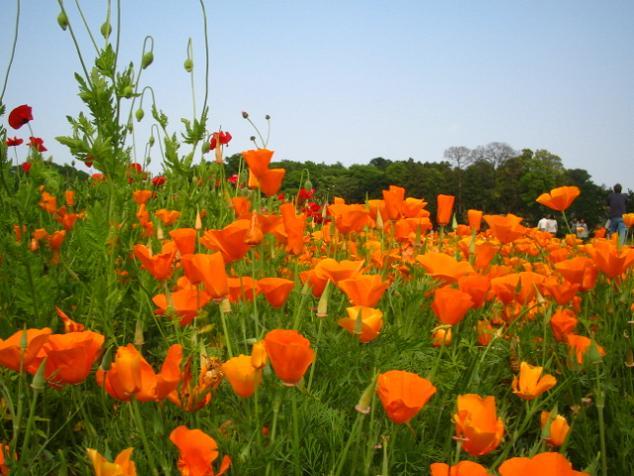 poppy-kounosu103