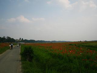 poppy-kounosu211