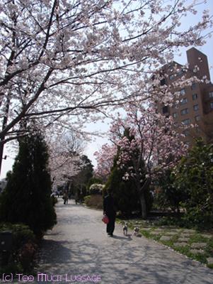 桜と白木蓮