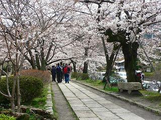 哲学の道 桜1