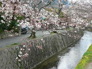 哲学の道 桜2