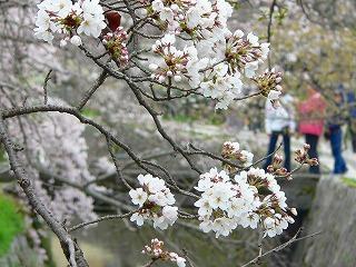 哲学の道 桜3