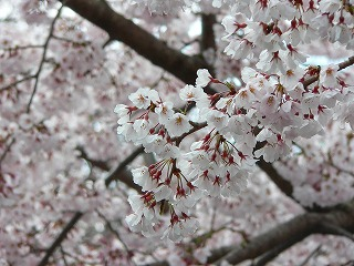 哲学の道 桜4