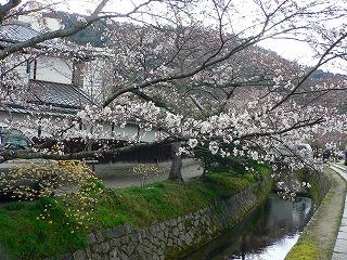 哲学の道 桜5