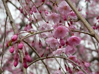 二条城 枝垂れ桜