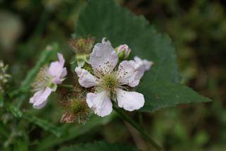 ブラックベリー(花)