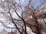 sugi5_sakura.jpg