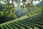 tea_field.jpg