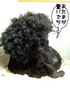アフロ犬になりました(1)