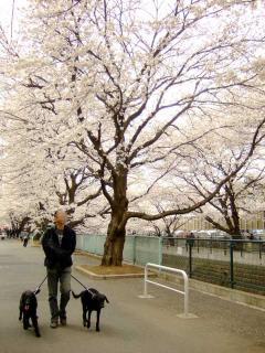今年も花見は川沿いで(1)