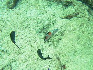 カンムリベラ幼魚