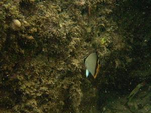 フウライチョウチョウウオ幼魚