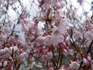 小彼岸桜H200411