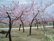 モモの花盛りH200420