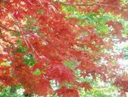 春の紅葉H200429