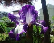 ジャーマンアイリス(紫)H200509