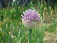 ニンニクの花H200519