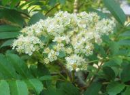ナナカマドの花H200520
