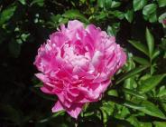 八重咲きシャクヤクH200521