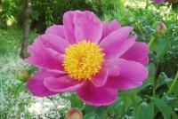 一重咲きシャクヤクH200521