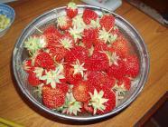 イチゴ収穫H200601