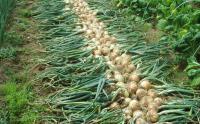 タマネギ収穫H200611