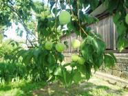 豊後収穫間際H200617