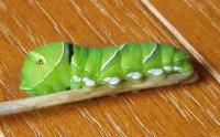 アゲハチョウ幼虫H200702