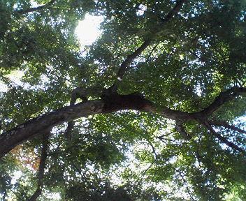 日本ミツバチかH200807