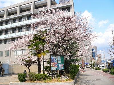 写真キャプション=京都の「桜田門」と言われる堀川警察署の前に今年も咲いた見事な桜