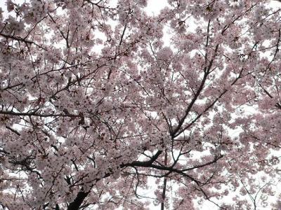 写真キャプション=故・前先生が亡くなった4月5日(土)14時30分に大阪で咲き乱れる桜