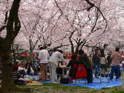 """。写真キャプション=吉野の静寂と異なり、焼肉の匂いが立ち込める大阪の""""花見の宴"""""""